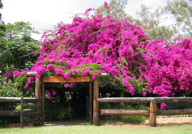 Woodleigh gate surrounded by purple bougainvillea