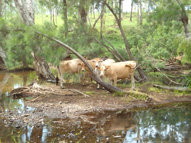 Cattle on an island