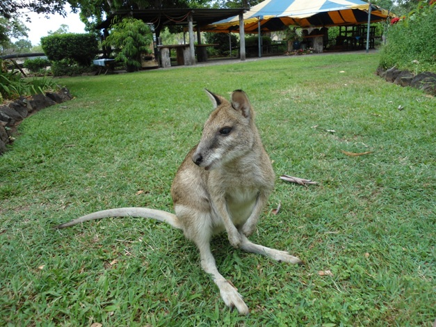 The wallaby enjoying Woodleigh gardens